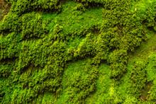 Closeup Moss Background