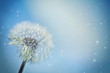 canvas print picture - Pusteblume im Wind