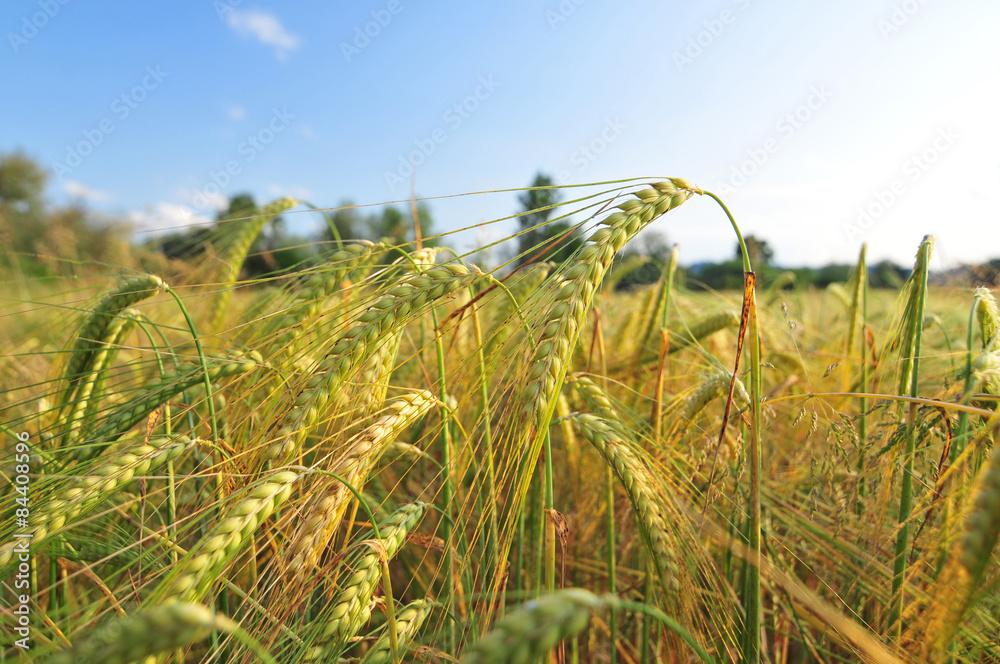 Fototapety, obrazy: Field of barley