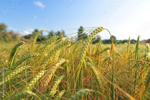 Foto  Field of barley