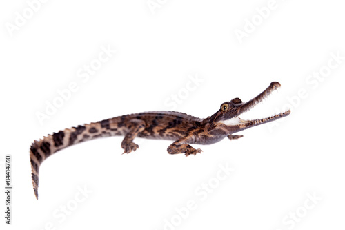 Valokuvatapetti The false gharial , Tomistoma schlegelii, on white