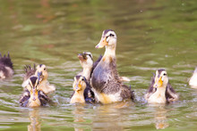 Group Of Baby Duck Playing On Water