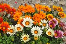 Orange Gazania Flower