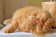 Funny Red Cat Washing Its Paw