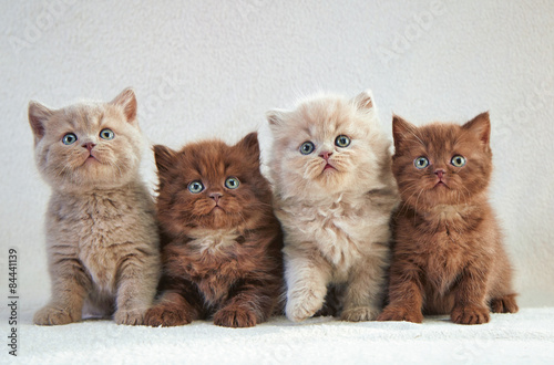 Photo  four british kittens