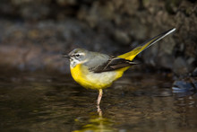 A Grey Wagtail (Motacilla Cinerea) Stands In The Water In A River