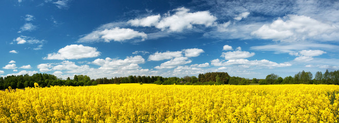 Fototapeta Łąka Rapeseed field panorama with beautiul sky