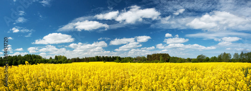 Rapeseed field panorama with beautiul sky - 84451720