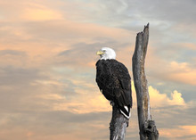 Bald Eagle Perched On A Tree At Sunset