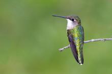 Ruby-throated Hummingbird (fem...