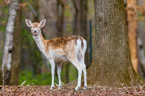 Fawn in the forest плакат
