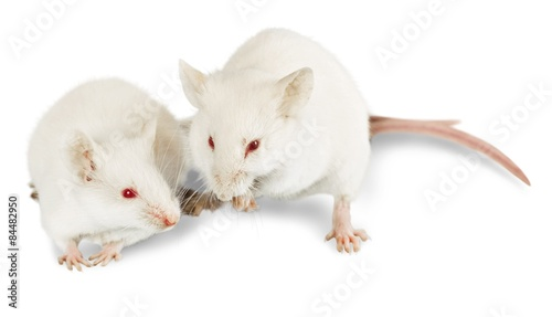 Fotografie, Obraz  Mouse, White, Rodent.