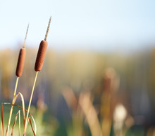 Bulrush Plants In The Swamp