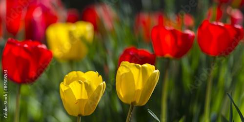 Tulipes jaunes et rouges - Plate-bande de fleurs dans le jardin ...