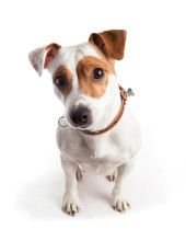 Jack Russell Terrier Dog Sits And Stares