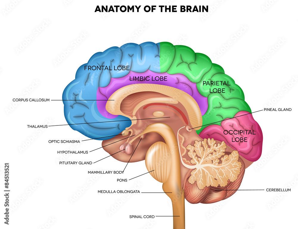 Human brain anatomy Plakat, Poster na Europosteri.hr