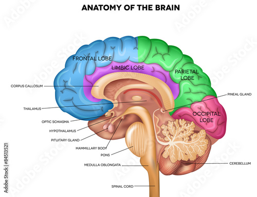 Canvas Print Human brain anatomy