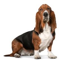 Dog, Basset Hound, Hound.