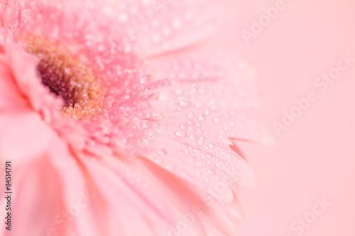 Fotobehang Gerbera Close up and selective focus of sweet pink Gerbera flower