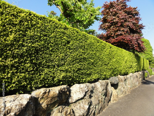 Cuadros en Lienzo 新緑の生垣