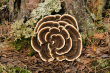 Trametes Versicolor, Also Know...