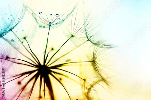 Obraz dandelion - fototapety do salonu