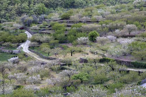 Photo  Cerezos en flor en el valle del Jerte. Extremadura.