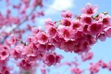 Sakura Of Thailand