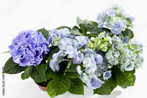 Blaue Hortensie Hydrangea Buy This Stock Photo And Explore