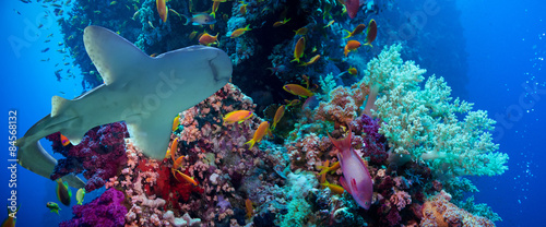 Staande foto Koraalriffen Tropical Anthias fish with net fire corals and shark