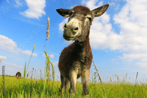 Foto op Canvas Ezel Donkey in a Field in sunny day