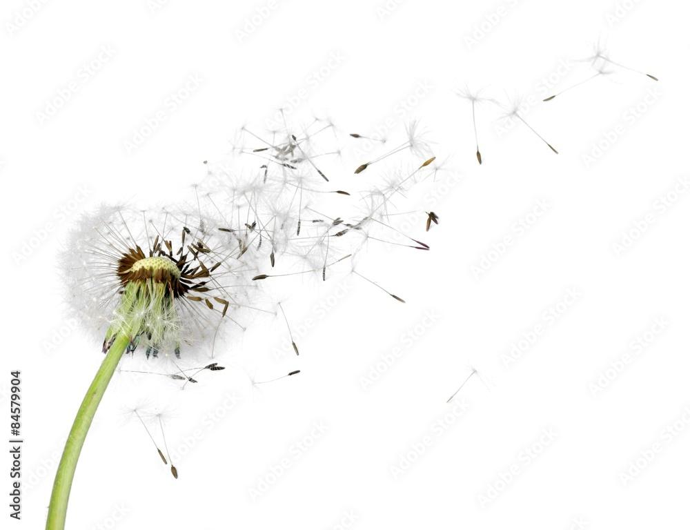 Fototapety, obrazy: Mniszek lekarski, nasiona, wiatr