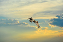 Osprey Flying In Clouds At Sunset