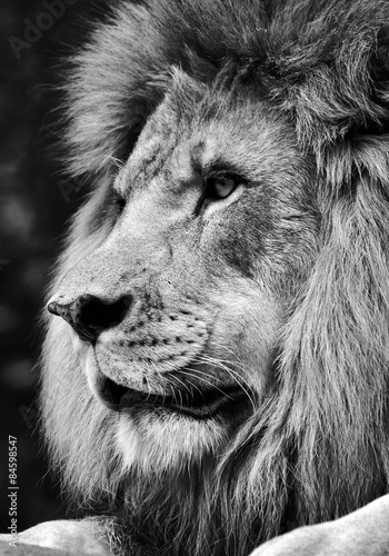 Foto op Plexiglas Leeuw High contrast black and white of a powerful male lion face