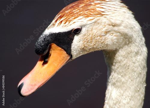 Foto auf Acrylglas Schwan Mute Swan closeup