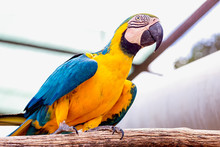 Blue And Gold Or Yellow Macaw Parrot