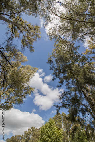 Fotografia, Obraz  View of eucalyptus trees against a blue sky with white clouds.
