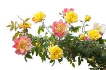 Pink And Yellow Rose Bush