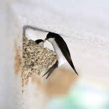 Swallow That Makes The Nest