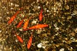 Fototapeta  - Złote rybki pod wodą - Karpie Koi