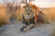 canvas print picture Big male African lion, Kalahari desert