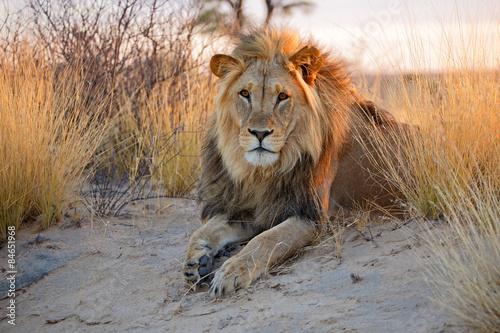 Foto op Plexiglas Leeuw Big male African lion, Kalahari desert