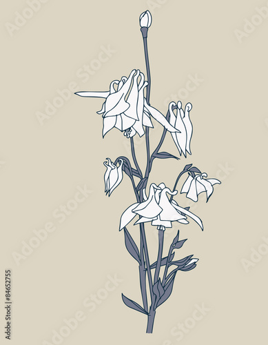 Photo Aquilegia Flowers