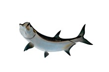 Tarpon Mount With Isolated Whi...