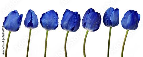 zroszeni-blekitni-tulipany-odizolowywajacy-na-bialym-tle