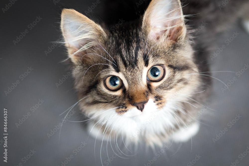 Fototapeta little fluffy kitten on a gray background