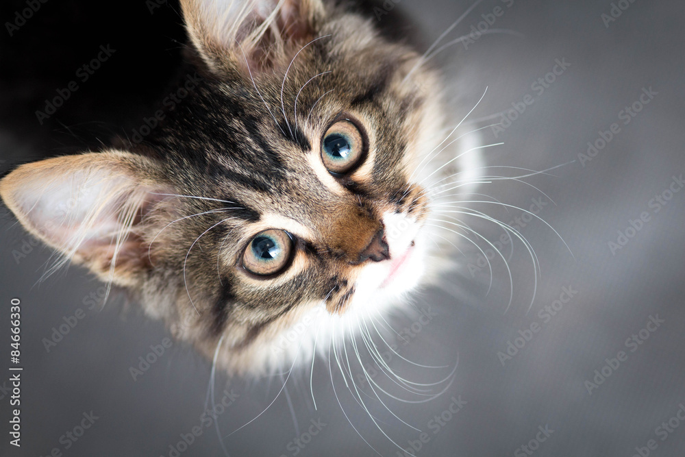 Fototapety, obrazy: little fluffy kitten on a gray background
