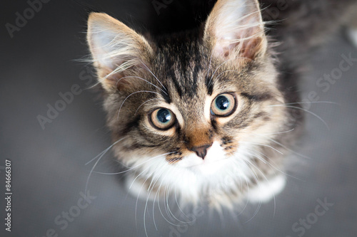 Photo  little fluffy kitten on a gray background
