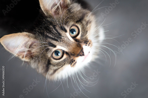 Chat little fluffy kitten on a gray background