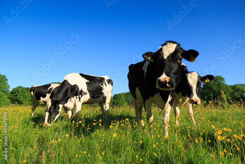 Photo Stands Cow Dutch cows grazing in a buttercup flower filled meadow in springtime.
